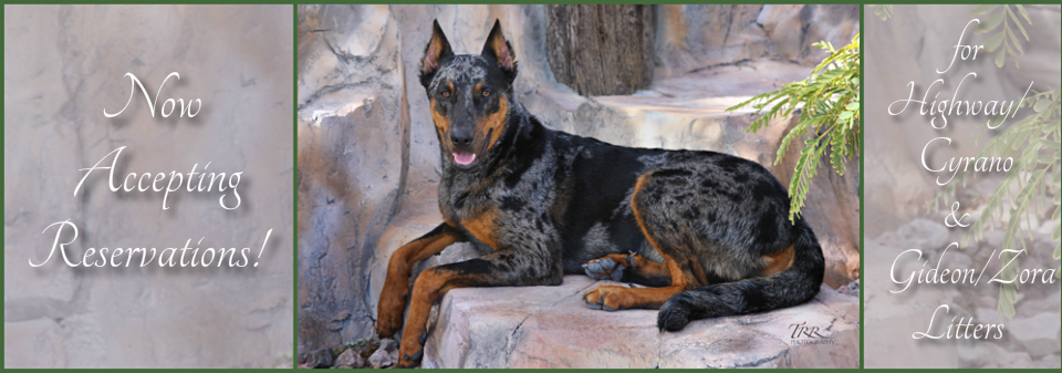 Puppies For Sale Joie De Vie Beaucerons 702 577 8971 Joie De